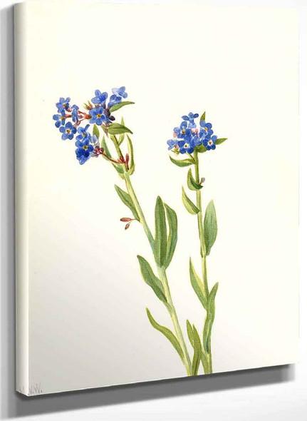 Alpine Forget Me Not (Myosotis Alpestris) By Mary Vaux Walcott