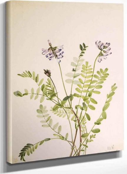 Alpine Milkvetch (Astragalus Alpinus) By Mary Vaux Walcott