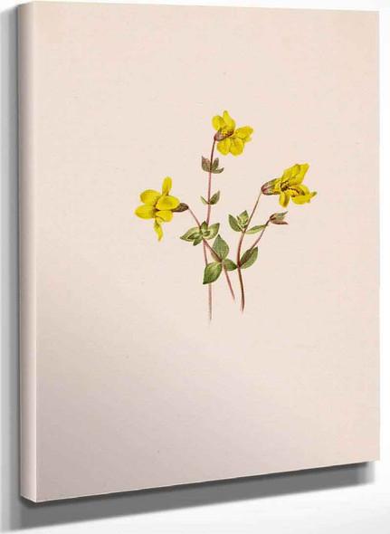 Alpine Monkey Flower (Mimulus Caespitosus) By Mary Vaux Walcott