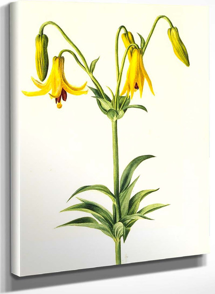 Canada Lily (Lilium Canadense) By Mary Vaux Walcott