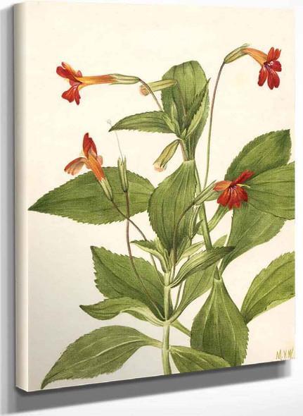 Cardinal Monkey Flower (Mimulus Cardinalis) By Mary Vaux Walcott