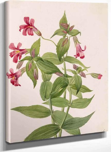Lewis Monkey Flower (Mimulus Lewisii) By Mary Vaux Walcott
