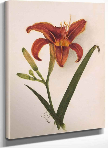 Lily By Mary Vaux Walcott