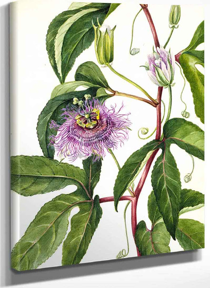 Maypop (Passiflora Incarnata) By Mary Vaux Walcott