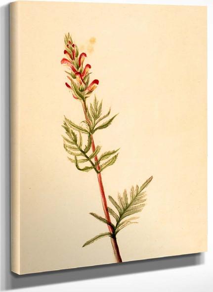 Pedicularis Bracteosa By Mary Vaux Walcott