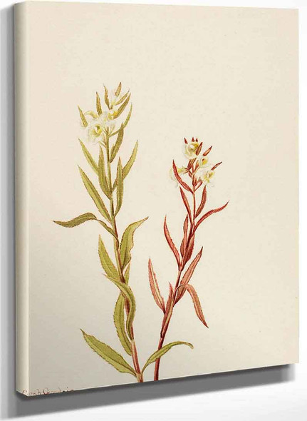 Pedicularis Raremosa By Mary Vaux Walcott