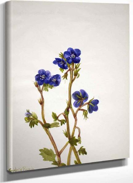Phacelia (Phacelia Parryi) By Mary Vaux Walcott