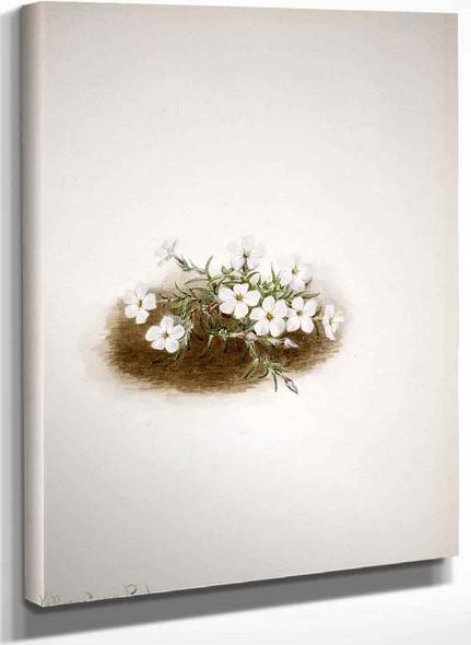 Phlox By Mary Vaux Walcott