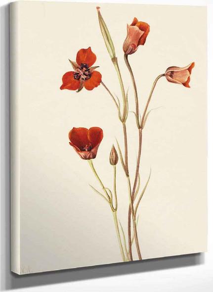 Scarlet Mariposa (Calochortus Kennedyi) By Mary Vaux Walcott