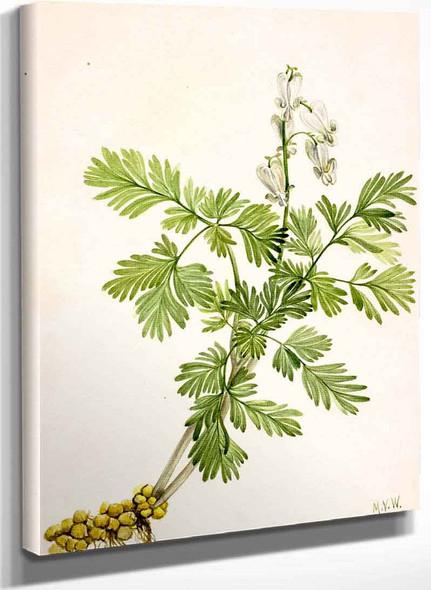 Squirrel Corn (Bikukulla Canadensis) By Mary Vaux Walcott