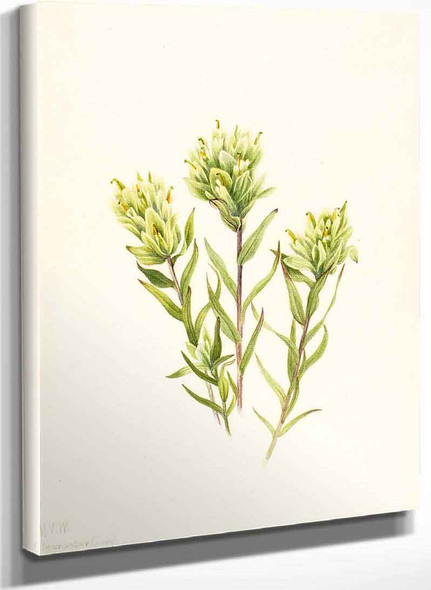 White Indian Paintbrush (Castilleja Occidentalis) 1 By Mary Vaux Walcott
