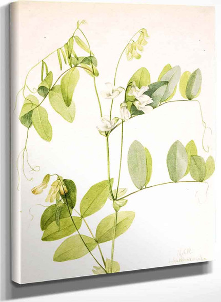 White Indian Paintbrush (Castilleja Occidentalis) By Mary Vaux Walcott