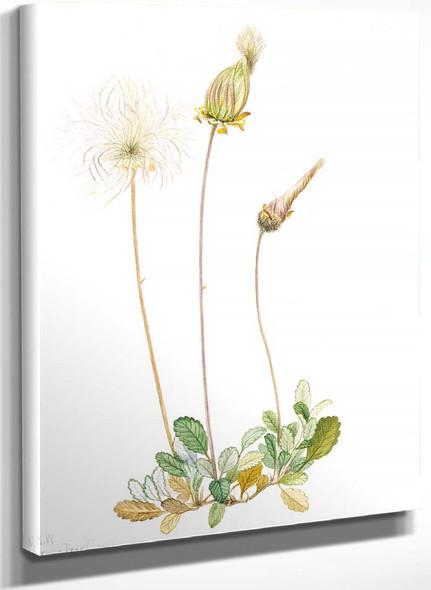 Yellow Dryad (Fruit) (Dryas Drummondii) By Mary Vaux Walcott
