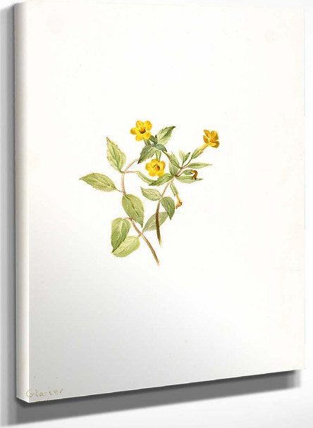 Musk Flower (Mimulus Moschatus) By Mary Vaux Walcott