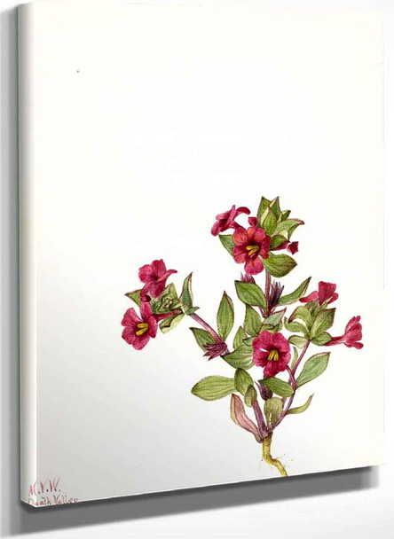 Purple Monkey Flower (Mimulus Bigelovii) By Mary Vaux Walcott