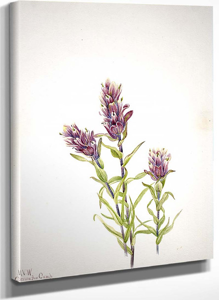 Rose Paintbrush (Castilleja Pallida) By Mary Vaux Walcott