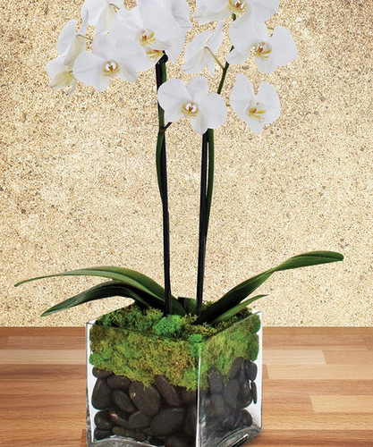 Double Stemmed white phalaenopsis orchid in clear glass cylinder surrounded by moss, river rocks and curly willow in Rockville MD, Palace Florists