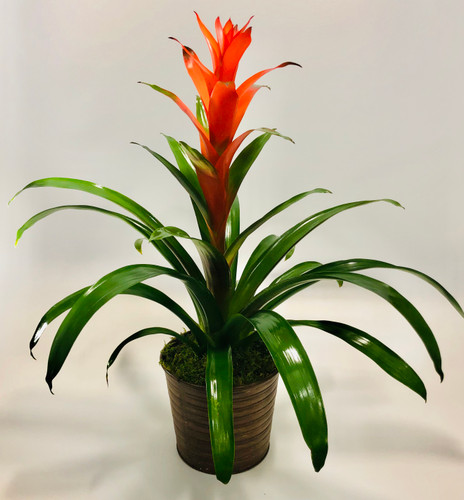 Bromeliad Beauty in Rockville MD, Palace Florists
