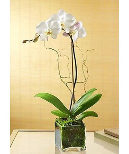 Single Orchid in Glass Cube -  Rockville MD - Palace Florists