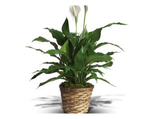 """Spathiphyllum plant or """"peace lily"""" is a low-maintenance, high quality green plant that arrives in basket delivered in Washington DC and Rockville MD, Palace Florist"""