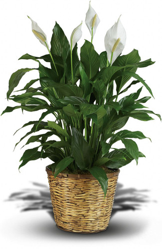 Green Plant - Washington DC - Rockville MD – Palace Florists