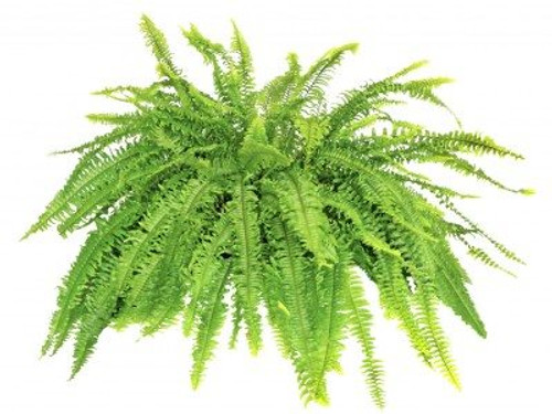 Palace's Boston Fern Plant Rental  in Decorative Container