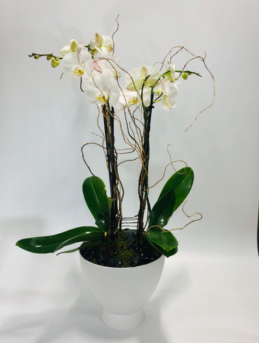 Two double stem orchids in Rockviller MD, Palace Florists