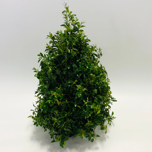 Boxwood Tree in Rockville MD, Palace Florists