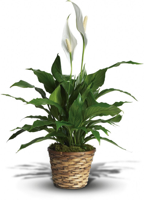Simply Elegant Spathiphyllum Small in Washington DC and Rockville MD, Palace Florists