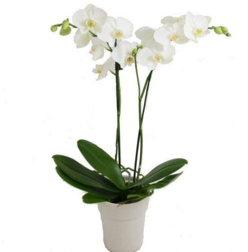 Double Stemmed white phalaenopsis orchids in ceramic container in Washington DC and Rockville MD, Palace Florists