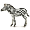Common Zebra Foal