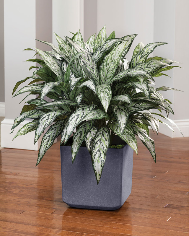 Double Full Silver Queen Silk Plant