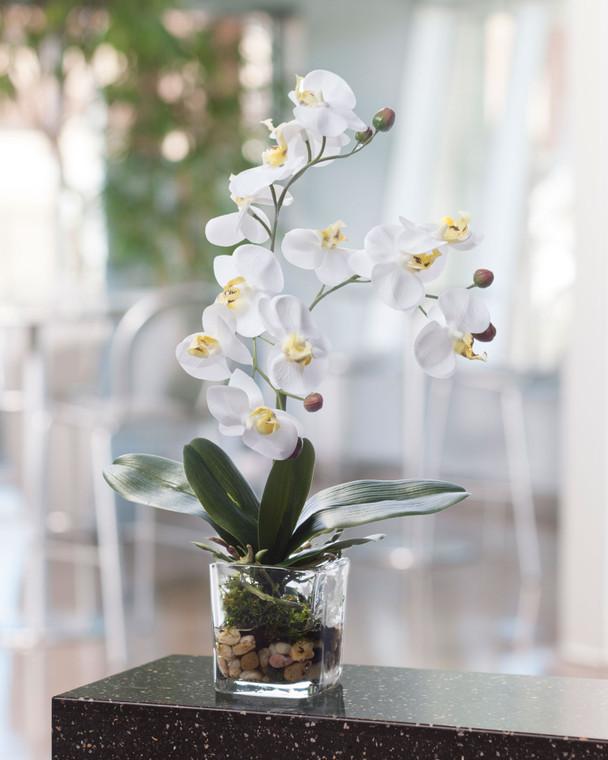 Phalaenopsis Accent