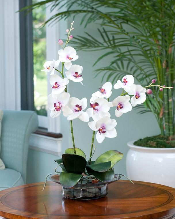 Cream Fuchsia Phalaenopsis Orchid in elegant glass bowl