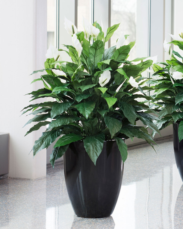 Double Silk Spathiphyllum Plant