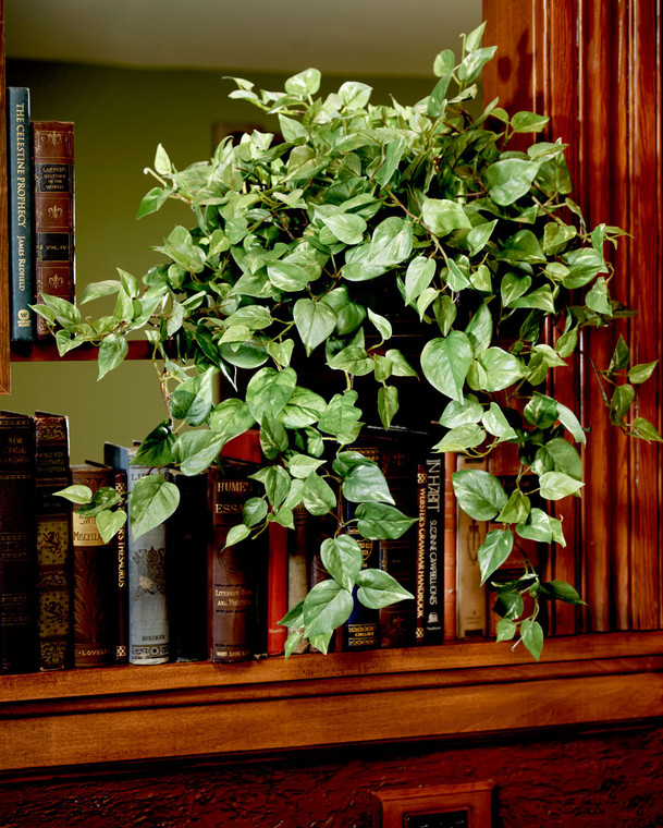 Cascading Silk Pothos Plant in aged oval planter