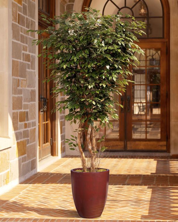 Deluxe Ficus Tree - 6ft