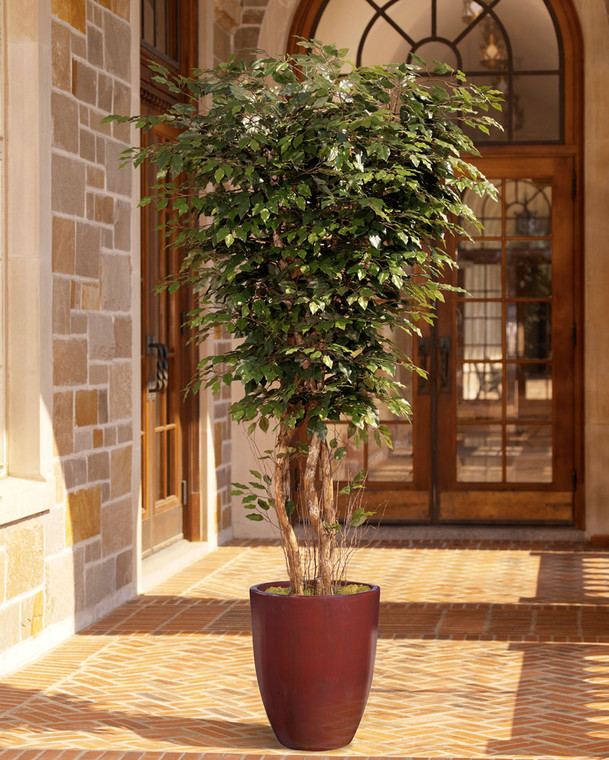 Deluxe Ficus Tree - 7ft