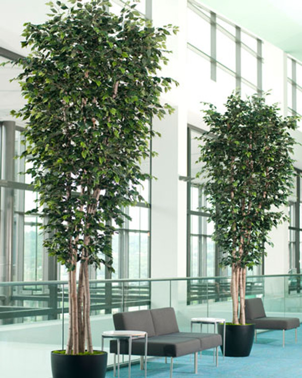Tall Deluxe Ficus  - 14ft