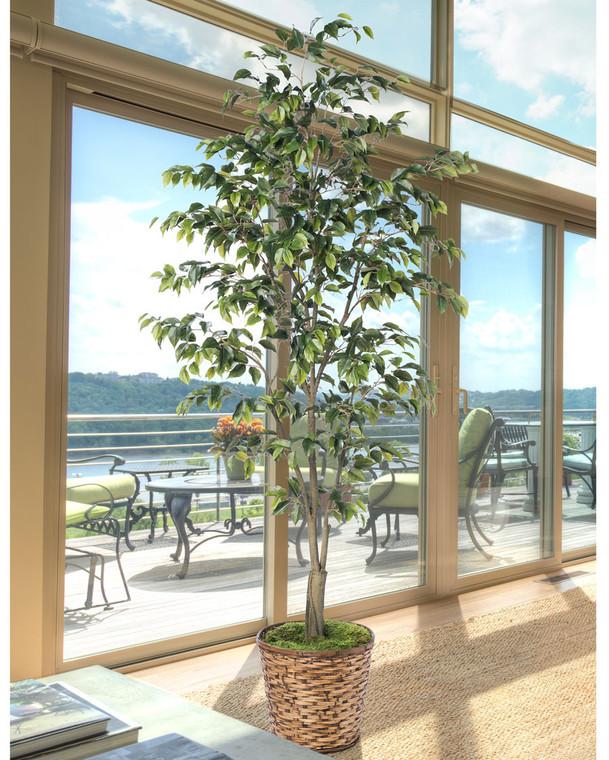 7' Ficus Benjamina Silk Tree