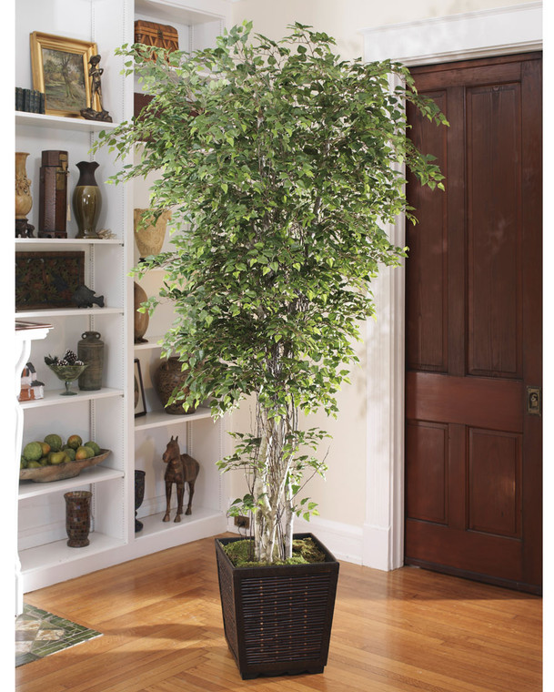 Silver Birch Tree - 7ft