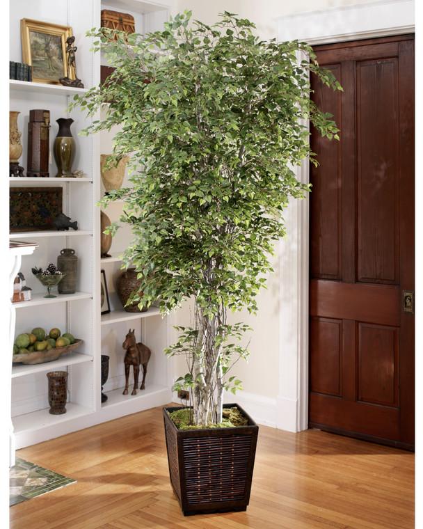 Silver Birch Tree - 8ft
