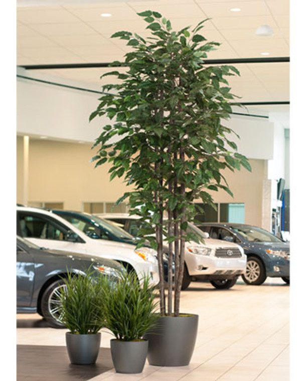 Tall Deluxe Alder Tree - 14ft