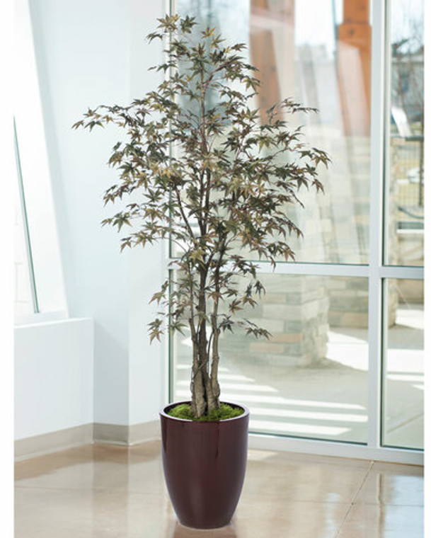 7 ' Japanese Maple Silk Tree