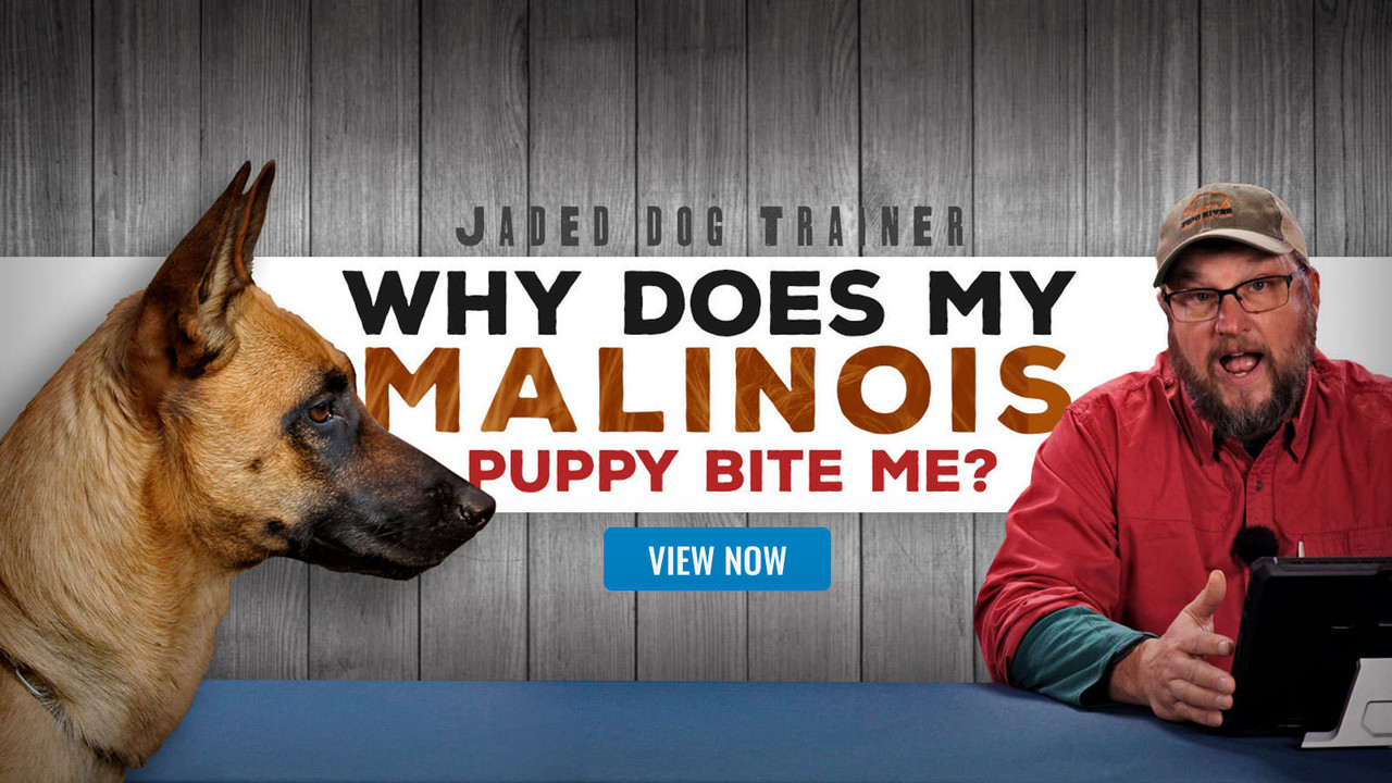 The Jaded Dog Trainer: Why Does My Malinois Bites Me All The Time?