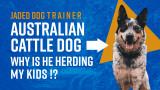 The Jaded Dog Trainer: My Australian Cattle Dog Is Herding My Kids!