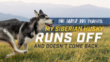 The Jaded Dog Trainer: My Siberian Husky Runs Forever!