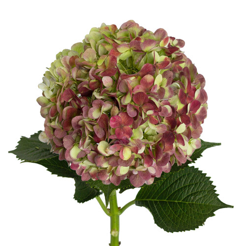 Jumbo Hydrangea, Antique Red (12 stems) - *Special Order