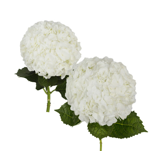 Hydrangea, White Jumbo and Natural Combo (20 stems) - *Special Order