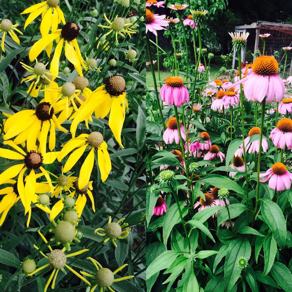 Companion Plants Prairie Coneflower (Ratibida pinnata) and Purple Coneflower (Echinacea purpurea)